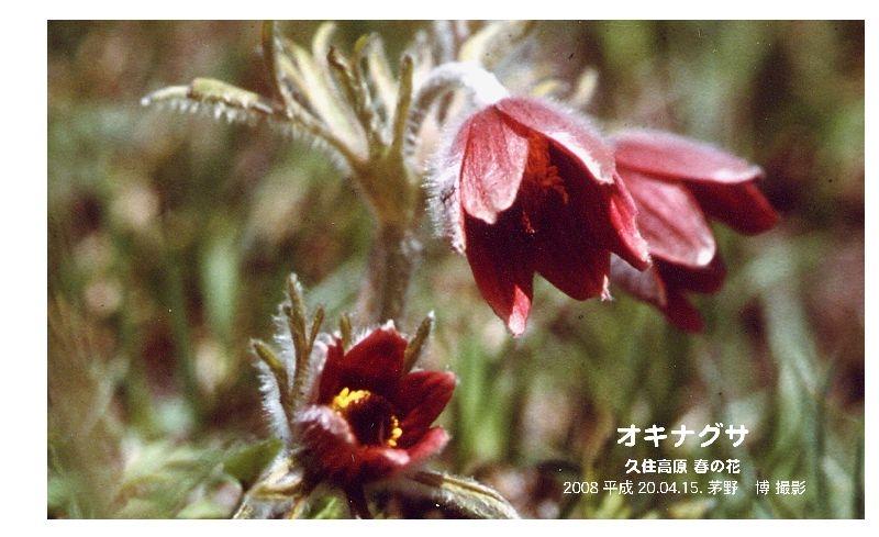 okinagusa