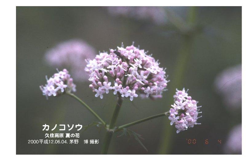 kanokosou