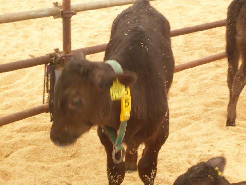 生後2カ月子牛の群れ 久住の植木牧場より