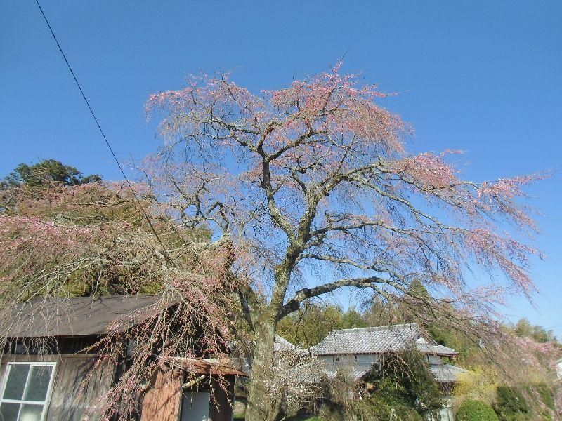 久住町白丹の枝垂れ桜