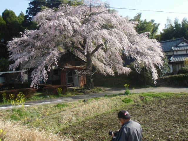 久住の枝垂れ桜、今年もよろしく
