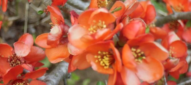 久住高原原産の花満開