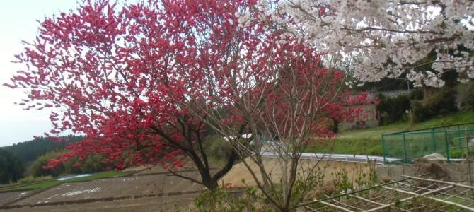 久住の春到来、花モモも満開