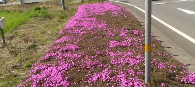 芝桜ももう見ごろ、久住高原まんじゅうハウス前