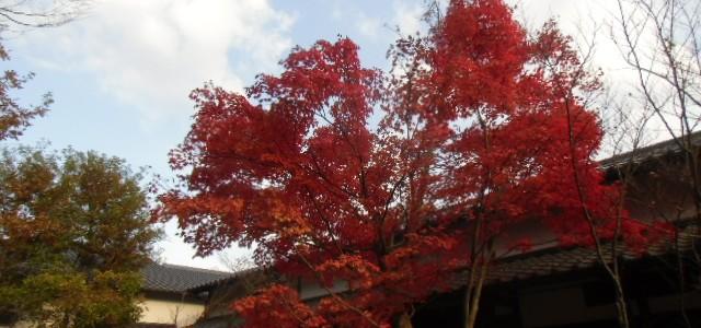 紅葉が久住の街へ降りてきた。