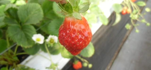 今年の初摘み、苺狩りinパルクラブ