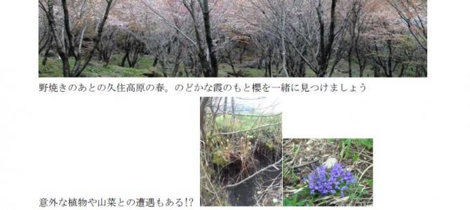 2015くじゅう山桜鑑賞会のお知らせ