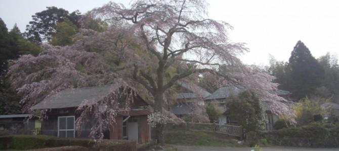 速報、久住白丹の枝垂れ桜、五分咲き