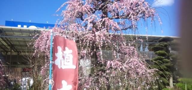 驚きの春、竹田の植木市の風景