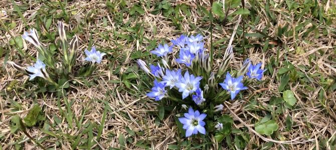 春の使者久住高原ハルリンドウ