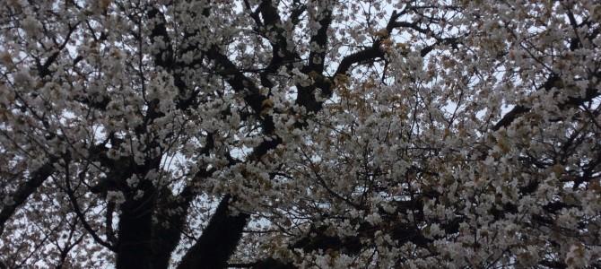 第41回岡城桜まつりin竹田散策