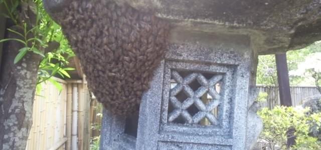 久住に日本ミツバチ現る
