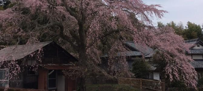 さあ、桜の季節の到来ですね。