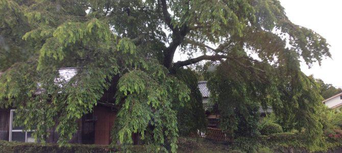 緑も濃くなりました。枝垂れの今
